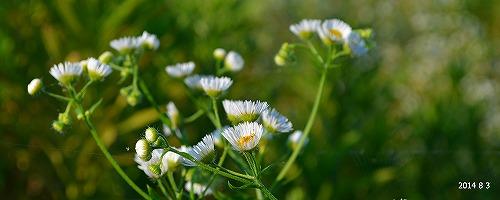 s-白い花④20140803