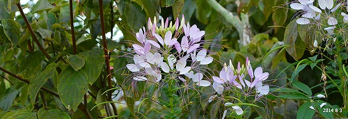 s-白い花⑤20140803