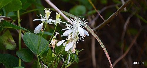 s-白い花⑦20140803