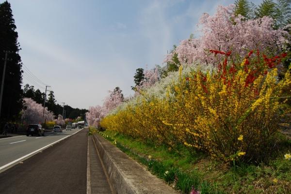 桜ロード3