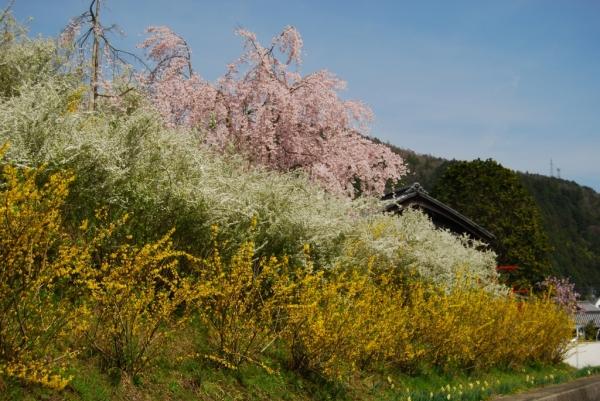 桜ロード5