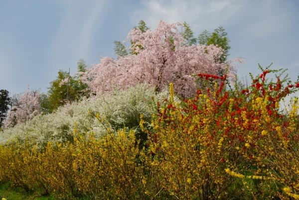 桜ロード7