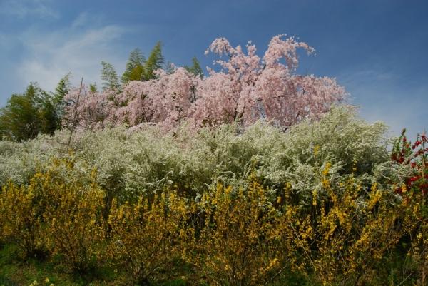 桜ロード8