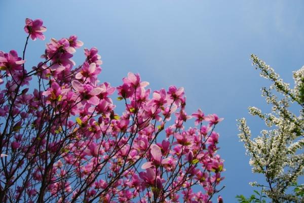 春の花12