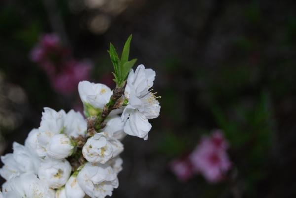 春の花16
