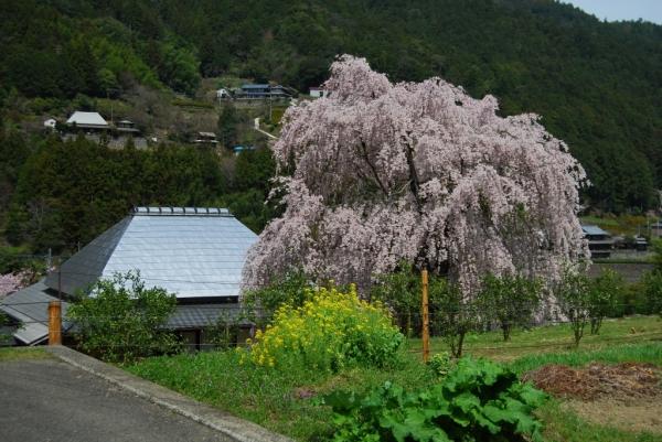 春の花19