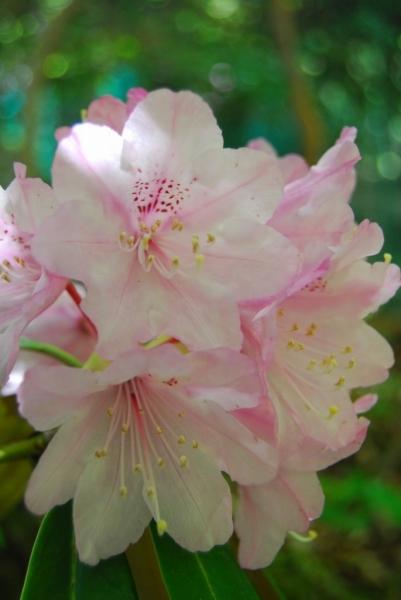 石楠花10