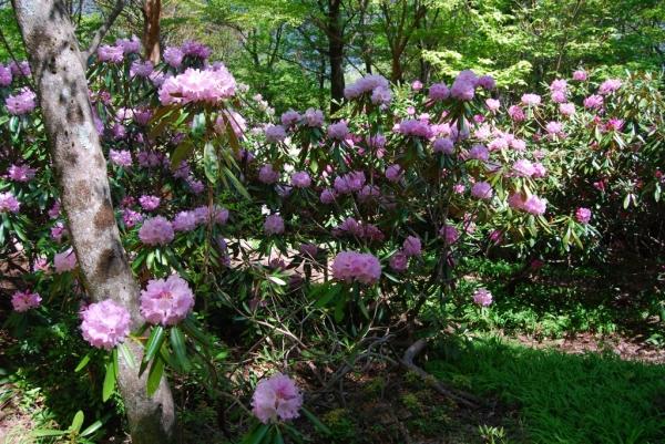 石楠花14