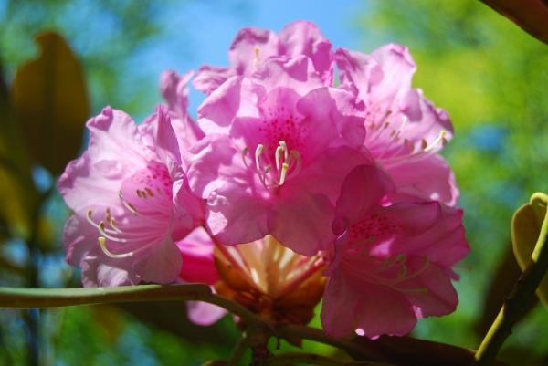 石楠花16