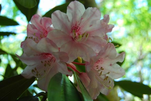 石楠花17