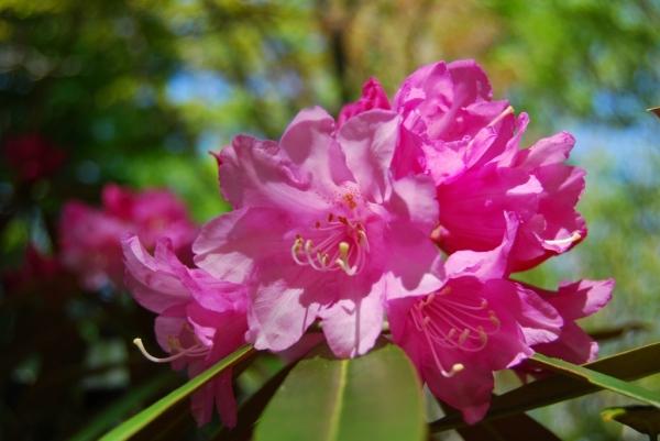石楠花19