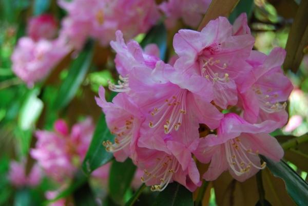 石楠花23