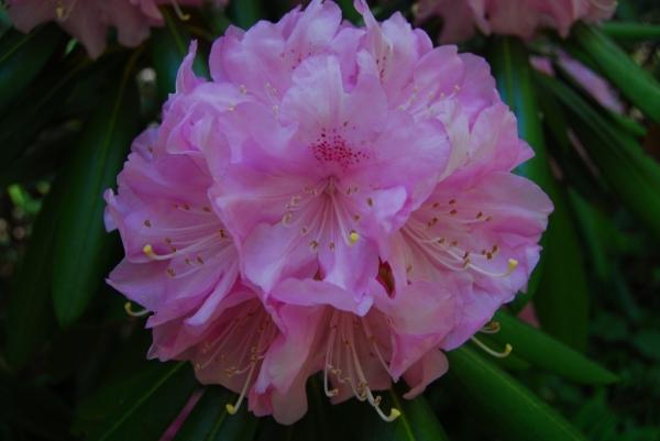 石楠花25