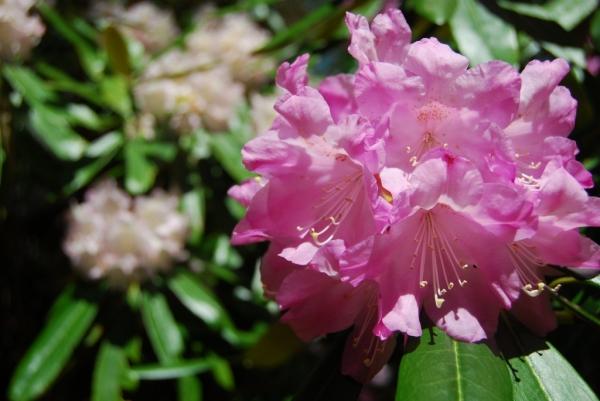 石楠花26