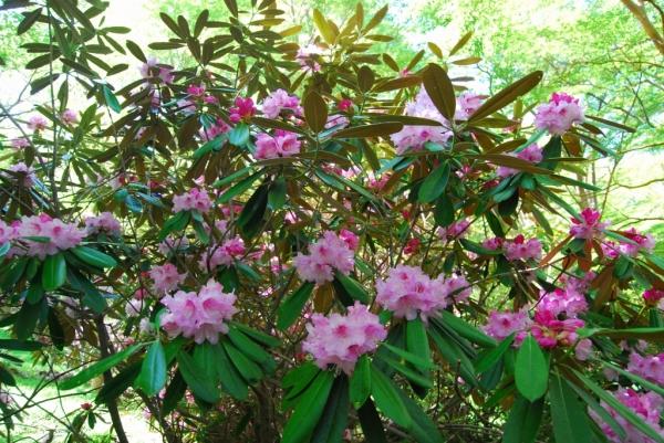 石楠花27
