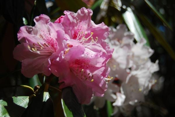 石楠花28