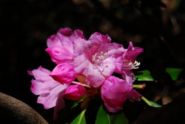 石楠花29