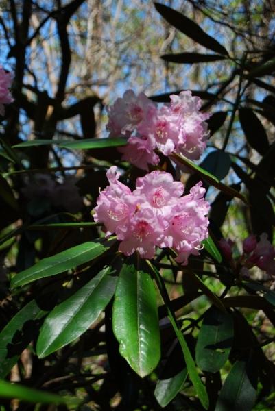 石楠花32
