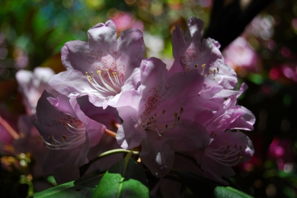 石楠花34