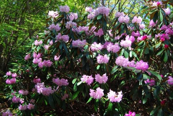 石楠花35