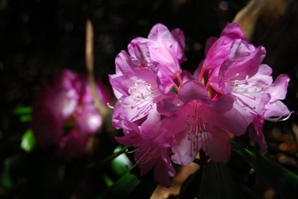 石楠花36