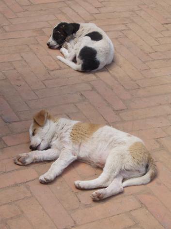 ネパール子犬
