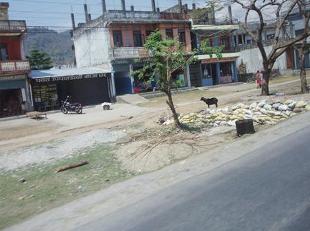 ネパール町の牛