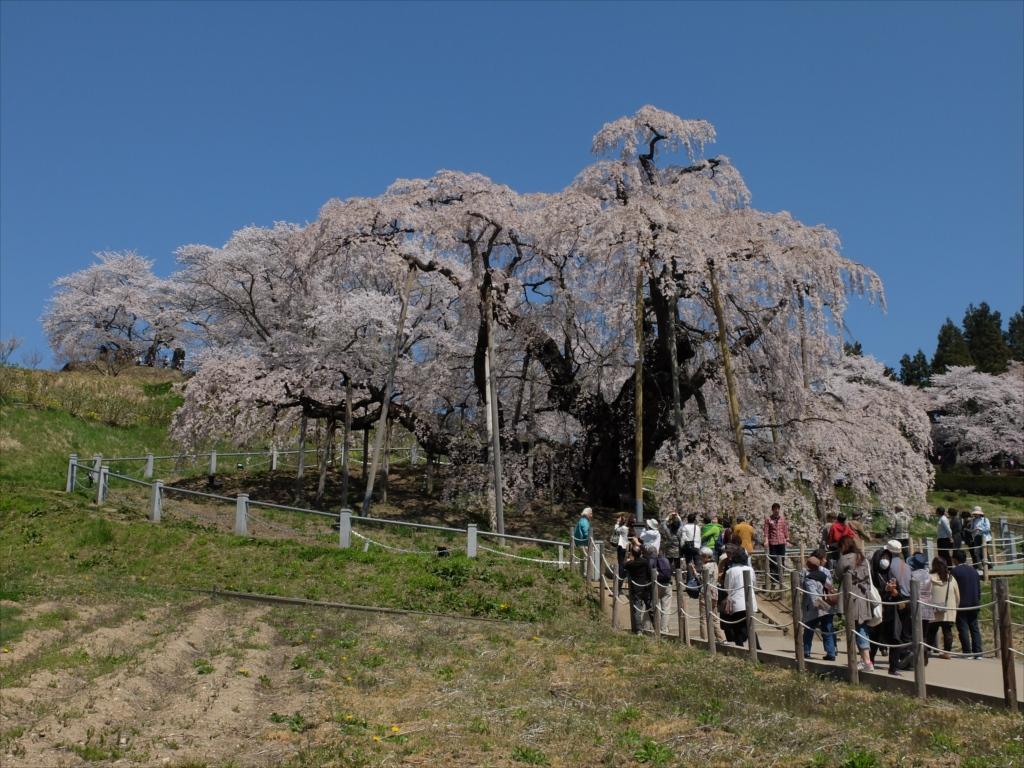 滝桜_13