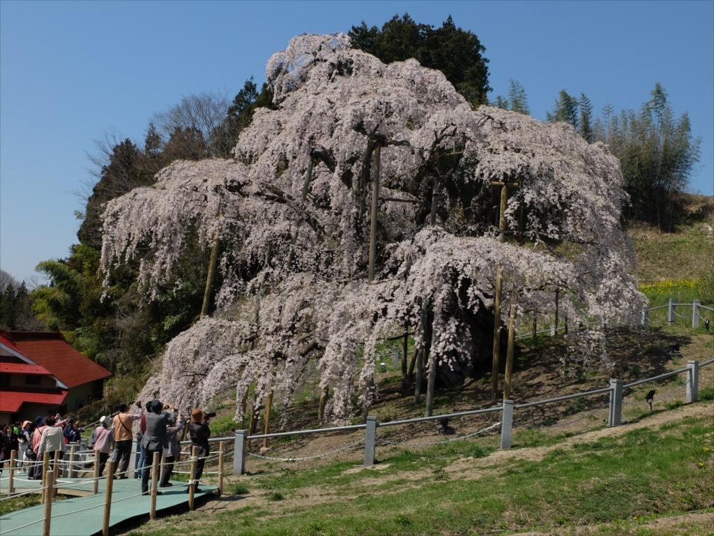 滝桜_14