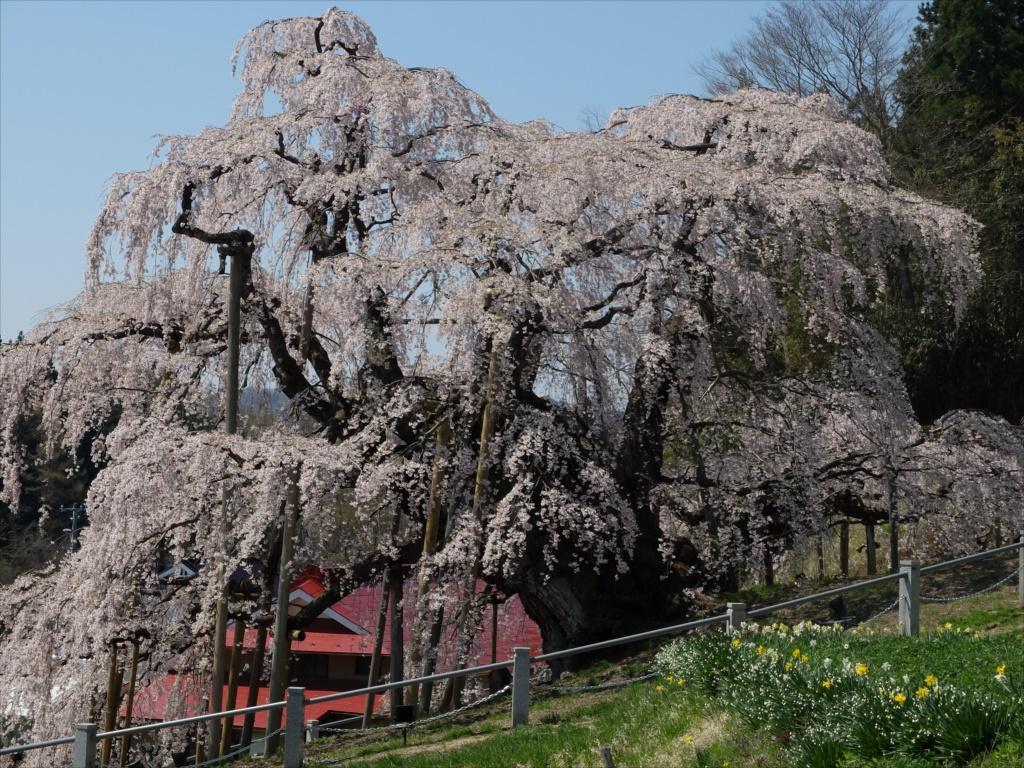 滝桜_15