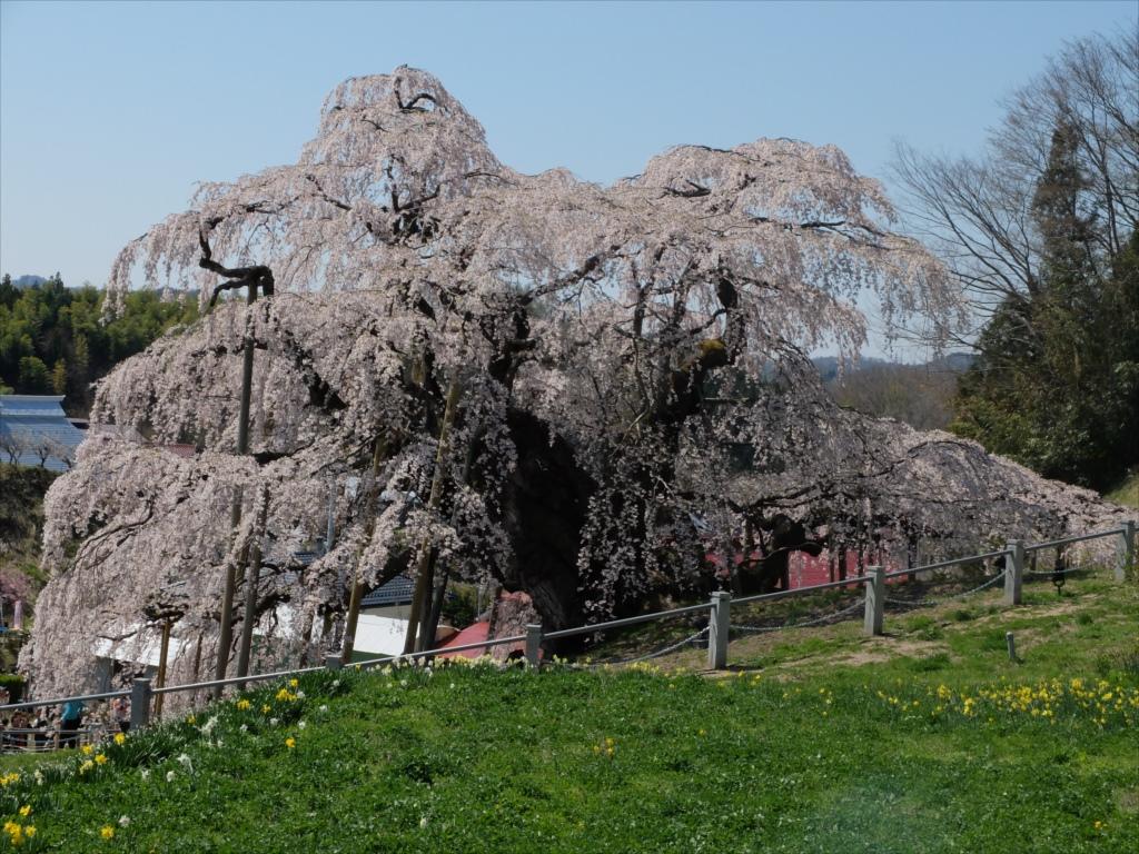 滝桜_16