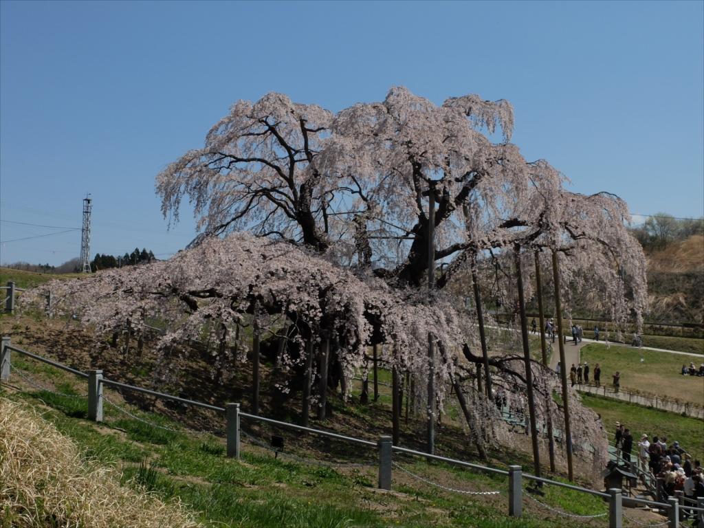 滝桜_19