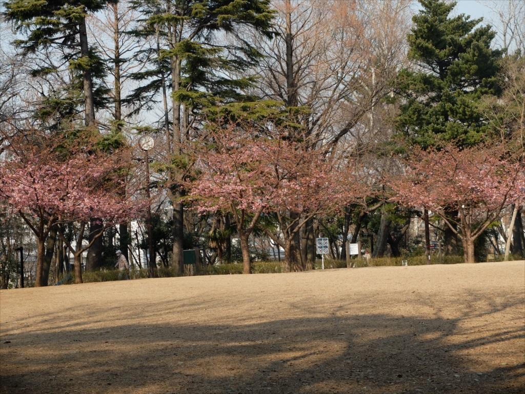 早咲きの桜が咲いている_1