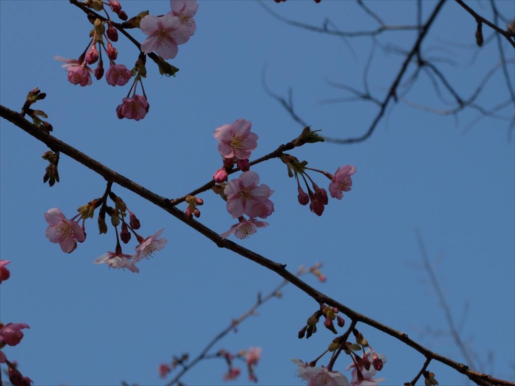 早咲きの桜が咲いている_2