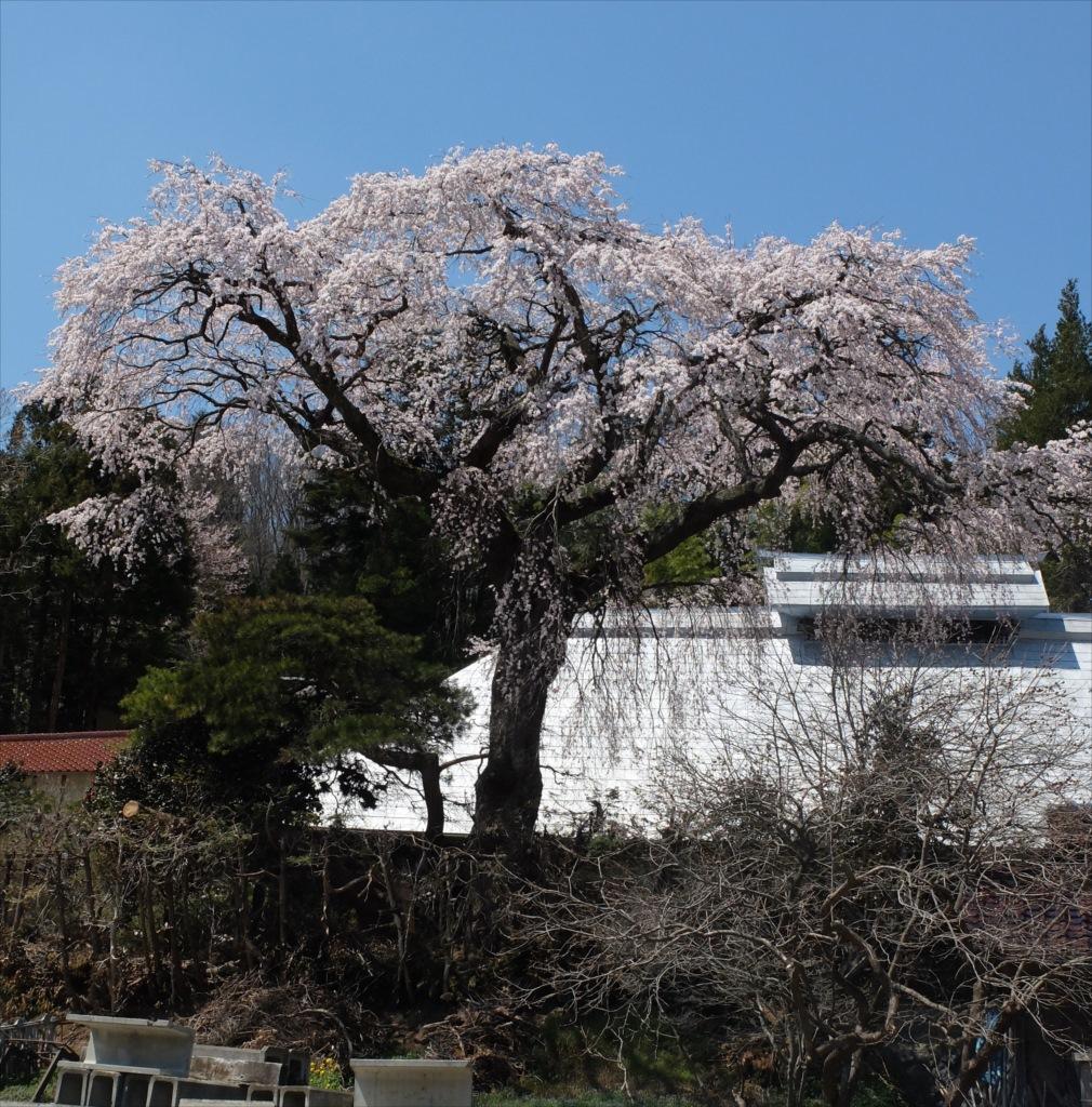 紅しだれ桜のようだ_2