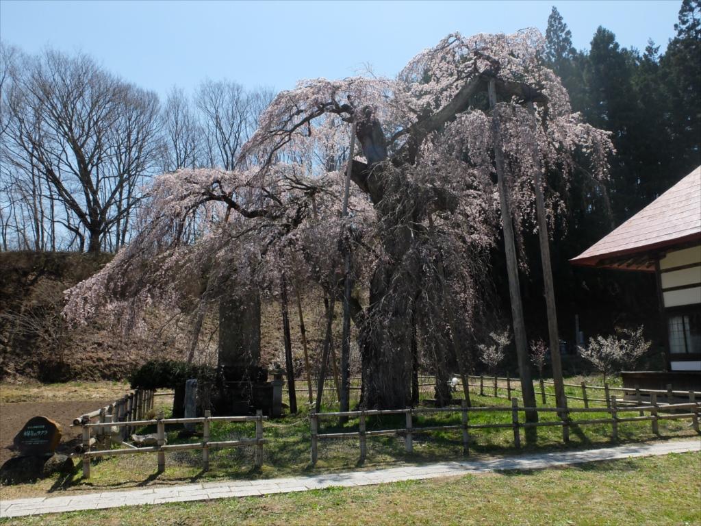 樹齢約400年の大木(福島県の天然記念物)_7