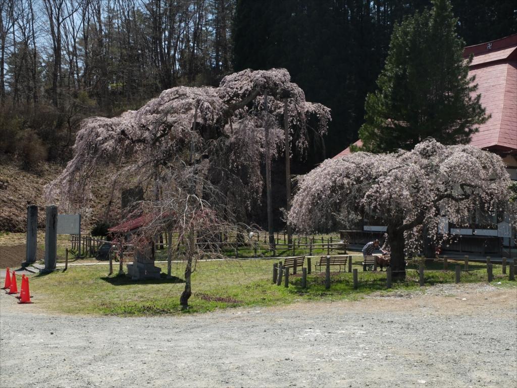 永泉寺の桜全体の様子_3