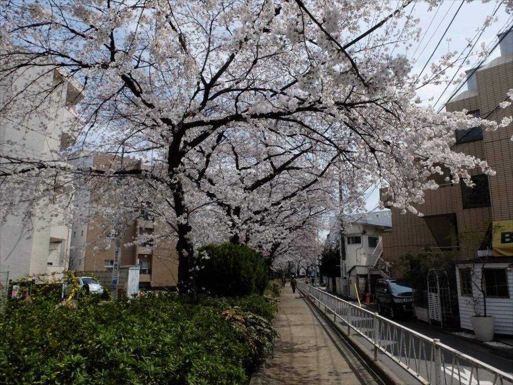 日中の桜_X-20_2