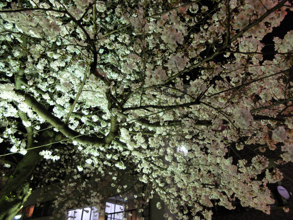 夜間の桜_X-20_43