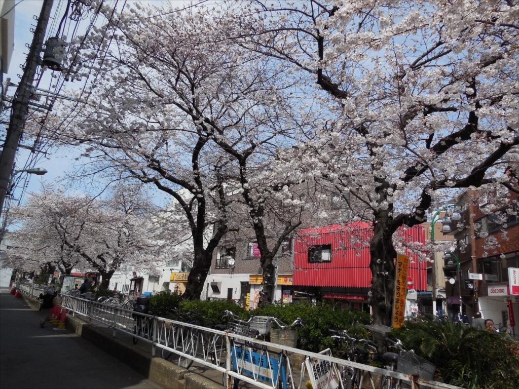 日中の桜_COOLPIX S6500_1