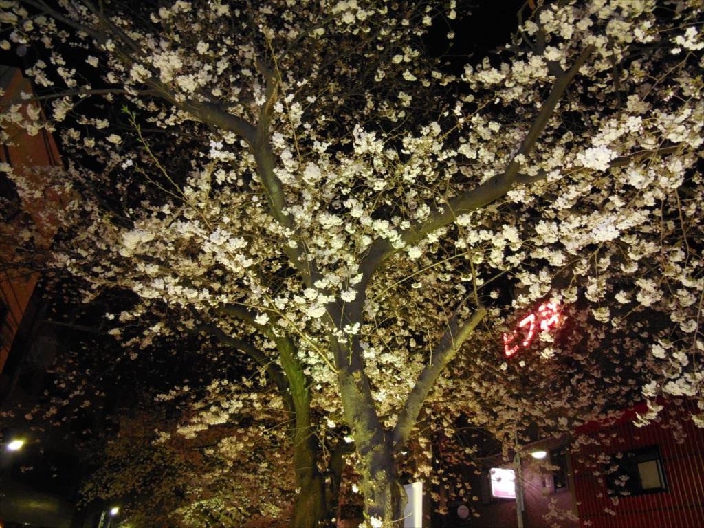 夜間の桜_COOLPIX S6500_1