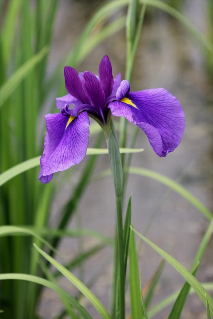 長井小紫(江戸系)