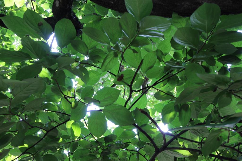 長屋門と柿の木_5