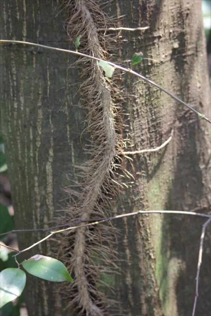 こんなのにひっつかれた樹木もえらい災難だろう_2