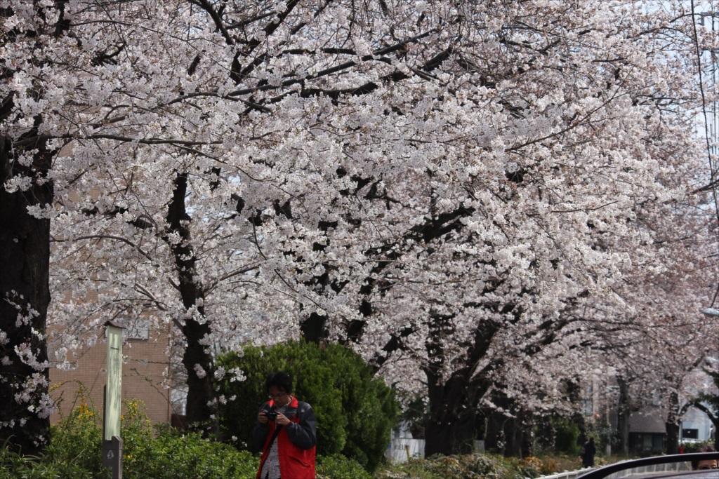日中の桜_EOS 60D + SIGMA 70-300 F4-5.6 APO DG MACRO_2