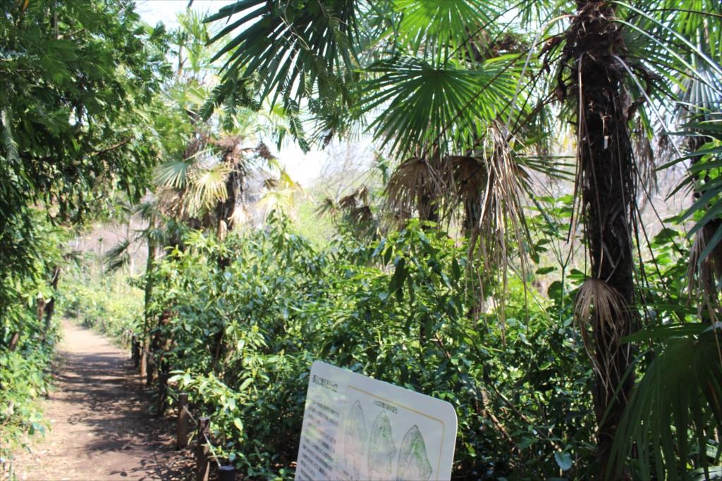 都心には棕櫚が増えている_1