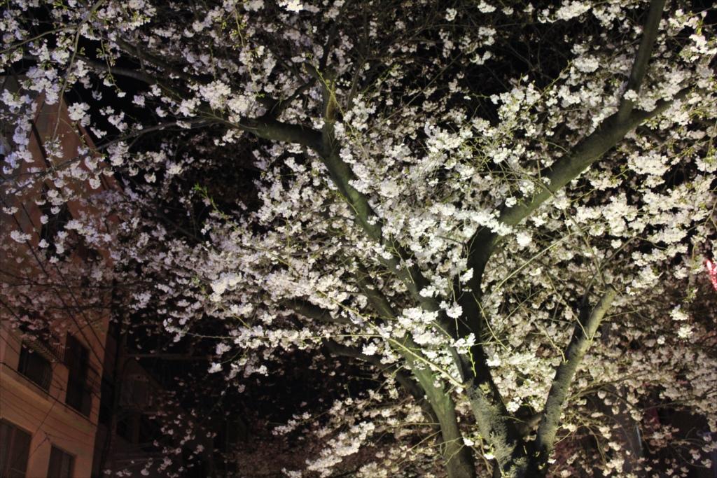 夜間の桜_EOS X6i + EF-S 18-55_1