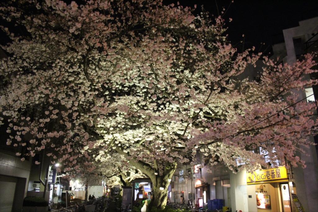 夜間の桜_EOS X6i + EF-S 18-55_2