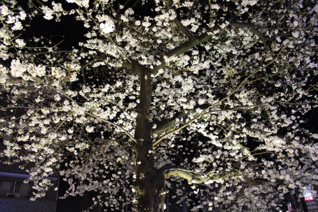 夜間の桜_EOS X6i + EF-S 18-55_4