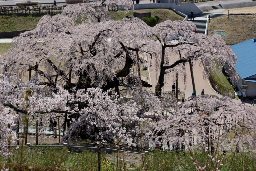 滝桜_11